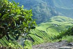 Herbaciany drzewo i Herbaciana plantacja, Cameron średniogórze, Malezja Obrazy Stock