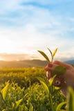 Herbaciany kochanek Obrazy Stock