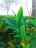 herbaciany liść fotografia royalty free