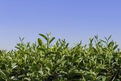 Herbaciany Liść Zdjęcia Stock