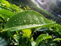 herbaciany liść Zdjęcia Royalty Free