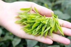 herbaciany liść Zdjęcie Royalty Free