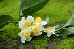 Herbaciany liść i herbaciany kwiat Obraz Stock