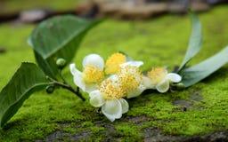 Herbaciany liść i herbaciany kwiat Zdjęcia Stock