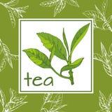 Herbaciany loga wektor, pociągany ręcznie liście i gałąź herbata, nakreślenie Obrazy Royalty Free