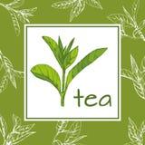 Herbaciany loga wektor, pociągany ręcznie liście i gałąź herbata, nakreślenie Zdjęcie Royalty Free