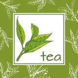 Herbaciany loga wektor, tło z pociągany ręcznie liśćmi i gałąź herbata, Obraz Stock