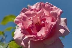 Herbaciany ogród różany w jesieni Obrazy Royalty Free