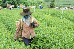 Herbaciany wzgórze, Bao Loc, zwianie Dong, Wietnam obrazy royalty free
