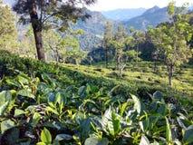 Herbaciany zasadza teren w Sri Lanka Zdjęcia Royalty Free