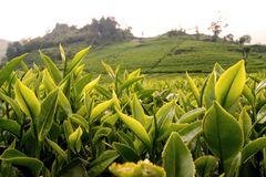Herbacianych plantacji walini, Ciwalini, Bandung, Indonesia obrazy stock