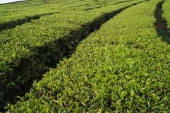 Herbacianych plantacji walini, Ciwalini, Bandung, Indonesia fotografia royalty free