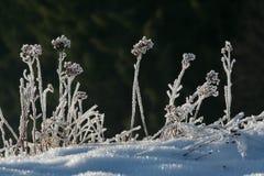 Herbage congelé à la lumière du soleil de matin photos libres de droits