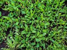herbaje verde desde arriba Cierre para arriba imagen de archivo libre de regalías