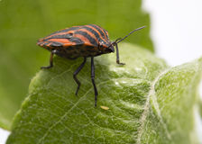 Herbal bug Italian. Stock Photos