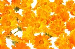 Herbal calendula Royalty Free Stock Photo
