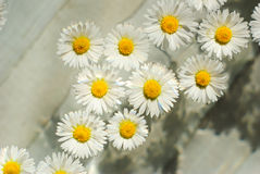 Herbal chamomile flowers Stock Images