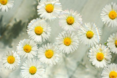 Herbal chamomile flowers in aroma bowl Stock Image