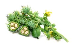 Herbal green castor beans stock images