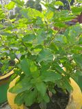 A herbal and holy plant Tulsi royalty free stock photos