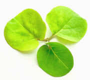 Herbal logo Royalty Free Stock Image
