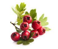 Herbal medicine: Branch of crataegus berries. Herbal medicine: Crataegus commonly called hawthorn, thornapple and hawberry isolated on white background Royalty Free Stock Photos