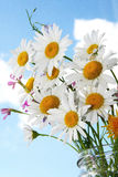 chamomile,  daisies flowers over the blue sky Stock Photos