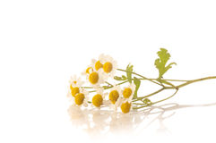 Herbal medicine: camomile Royalty Free Stock Photography
