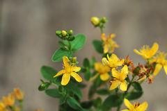 Herbal medicine. Flowering Tutsan close up on wooden table. Yellow flowers Stock Photo