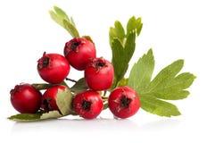 Herbal medicine: Hawthorn berries Stock Photos