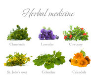 Herbal Medicine: herbs and flowers on white. Herbal Medicine: chamomile, lavender, calendula, celandine and St. John's wort - herbs and flowers on white Stock Photography