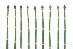 Herbal medicine: Horsetail Stock Images