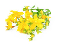 Herbal medicine hypericum Stock Photo