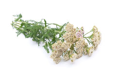 Herbal medicine: Milfoil Stock Image