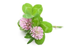 Herbal medicine:Red clover Royalty Free Stock Photos