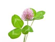 Herbal medicine:Red clover Stock Image