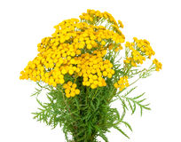 Herbal medicine:Tansy Royalty Free Stock Photography