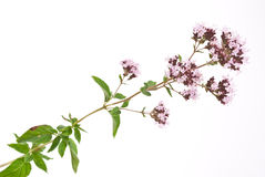 Herbal medicine:Thyme Stock Images