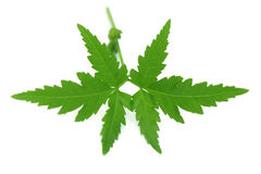 Herbal neem leaves Royalty Free Stock Photo