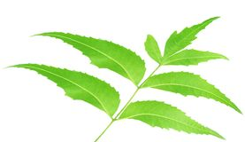Herbal Neem leaves Stock Image