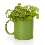 Herbal peppermint tea cup Royalty Free Stock Images