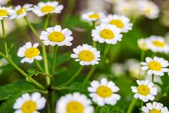 Herbal plant for alternative medicine. Beautiful scene with blooming medical chamomilles in nature. Wild chamomile field flowers. Background. Soft focus royalty free stock images