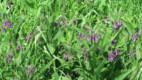 Herbal plant comfrey (symphytum) growing on havel river meadows (Germany) stock video