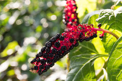 Herbal plant: Indian pokeweed Phytolacca acinosa Royalty Free Stock Photography