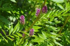 The herbal plant Liquorice