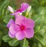 Herbal plant with pink flower Royalty Free Stock Photos