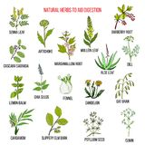 Herbal remedies for aid digestion. Hand drawn vector set of medicinal plants Royalty Free Stock Photography