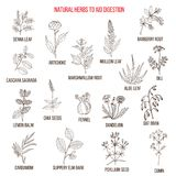 Herbal remedies for aid digestion. Hand drawn vector set of medicinal plants Stock Image