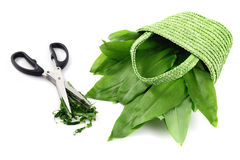 Herbal scissors cutting ramson leaves.  Royalty Free Stock Photography