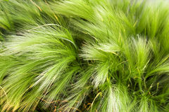 Herbal texture. Green feather grass closeup. Horizontal background. Stock Photography